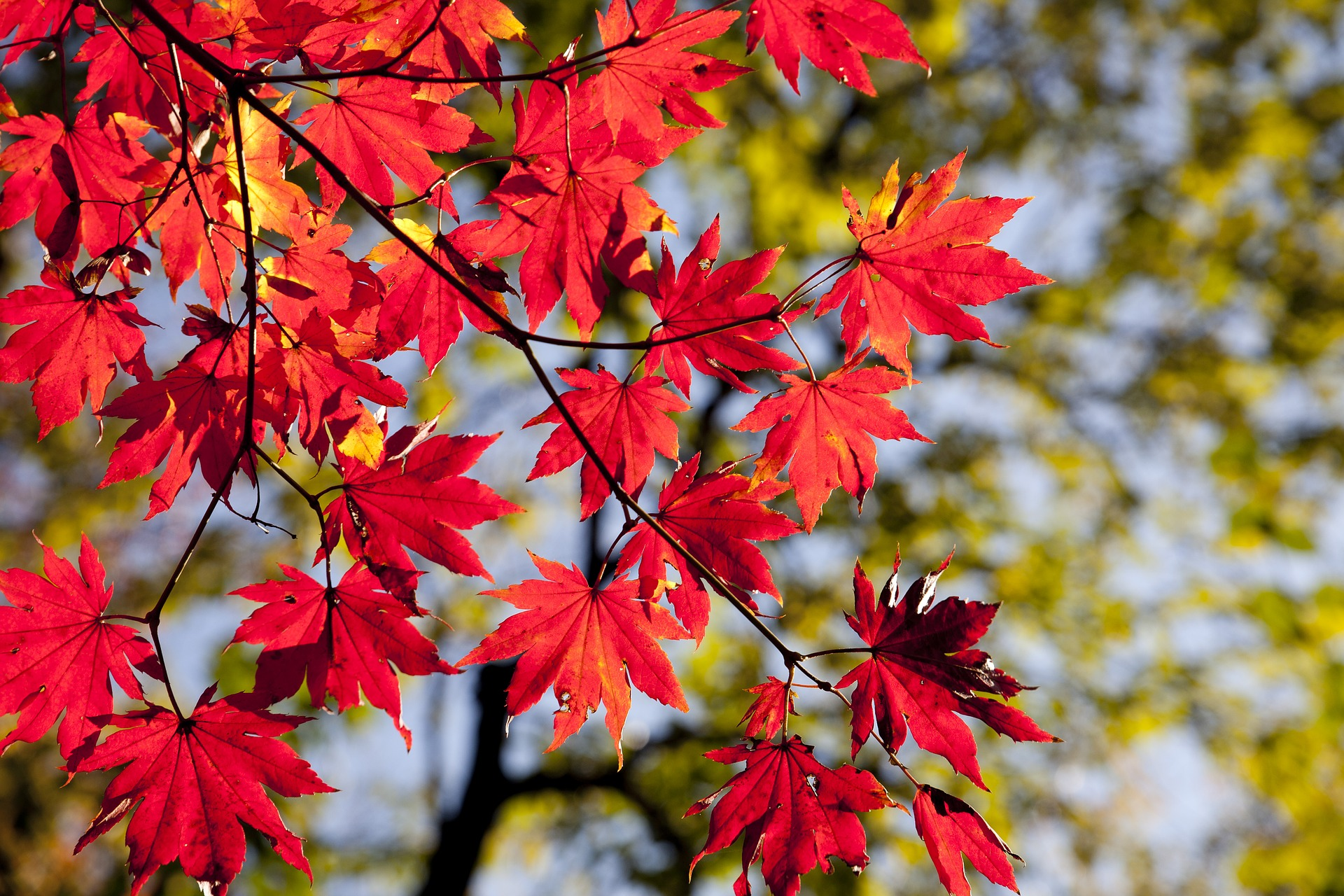 https://pixabay.com/it/photos/foglie-di-autunno-acero-le-foglie-2789234/