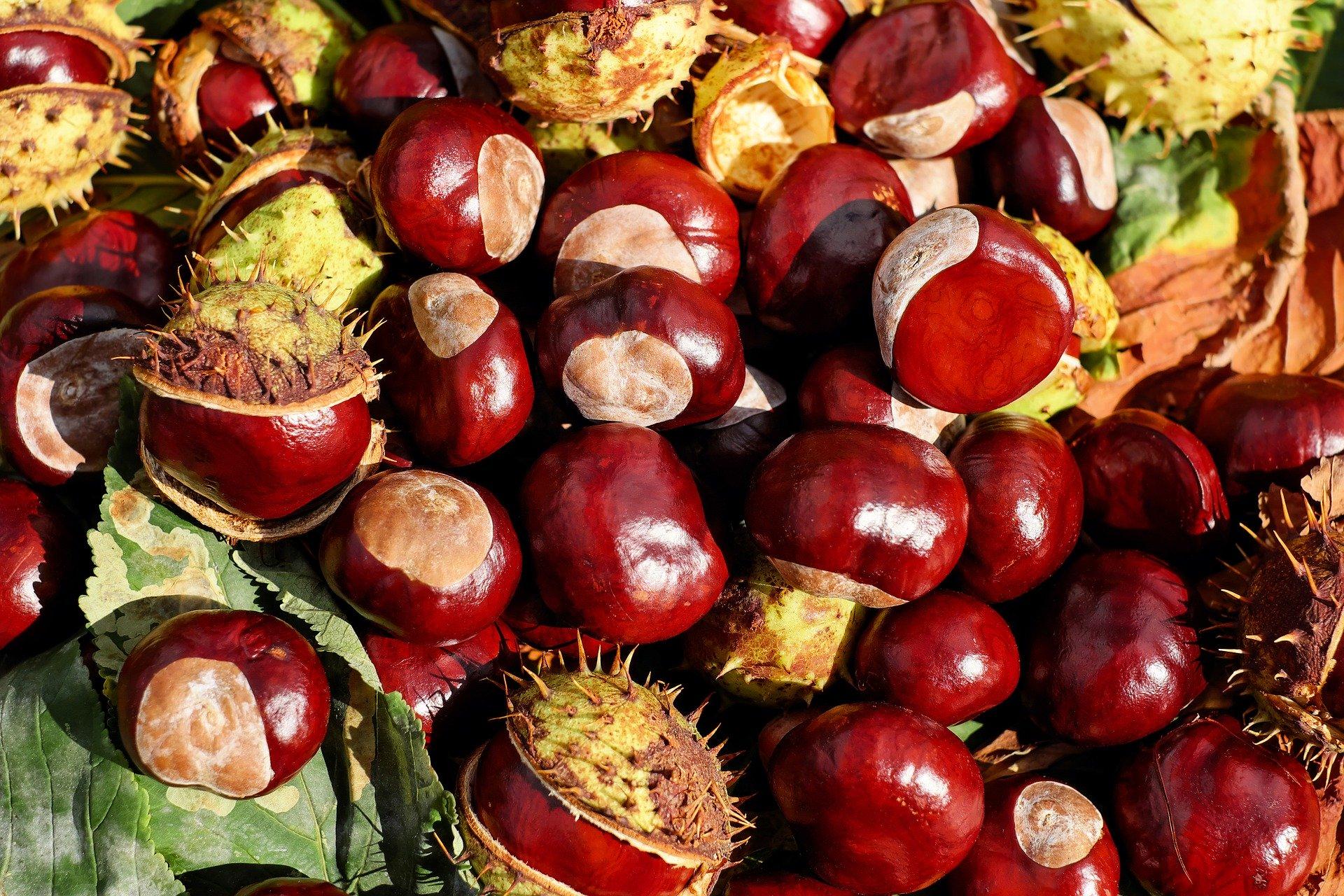 https://pixabay.com/it/photos/castagno-buckeye-frutta-rosso-1710430/